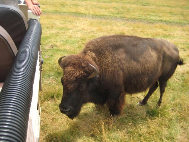 Large buffalo next to bus